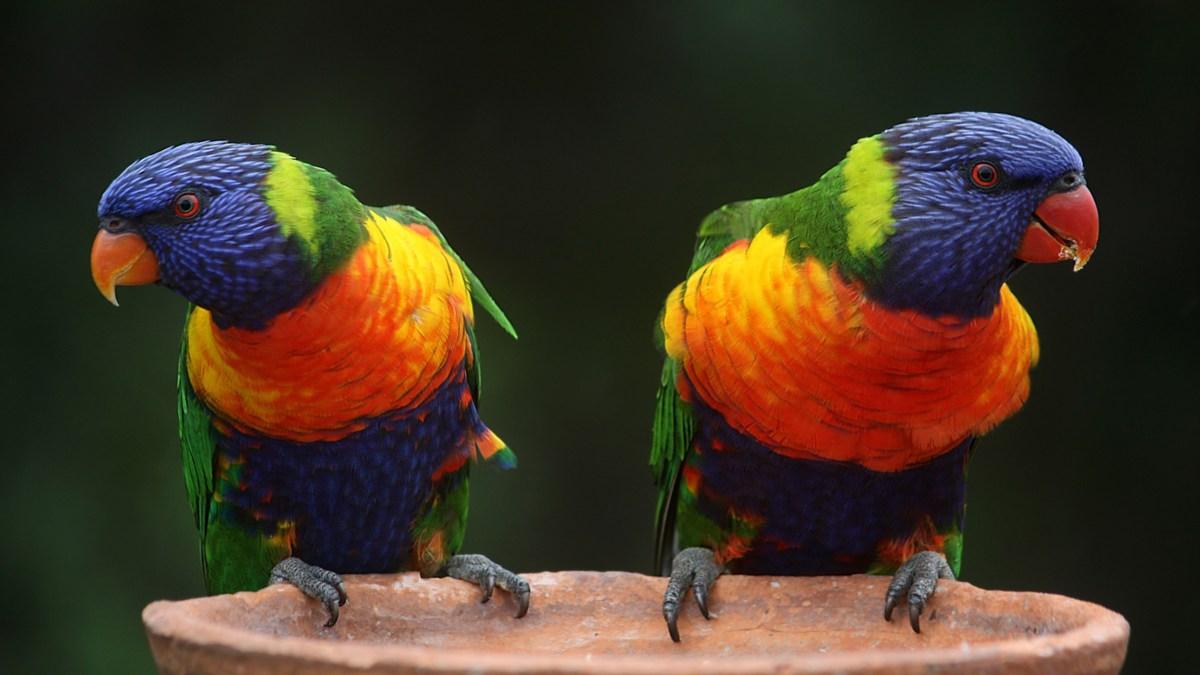 rainbow-lorikeet-parrots-australia-rainbow-37833
