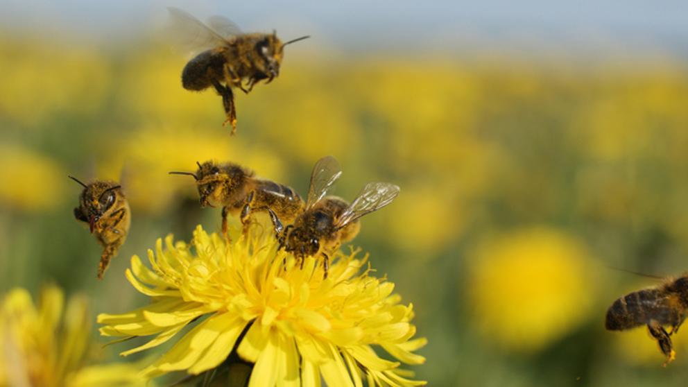 La UE prohíbe tres insecticidas considerados peligrosos para las abejas