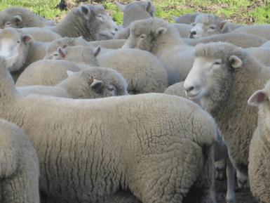 Aged-Lamb-Photo