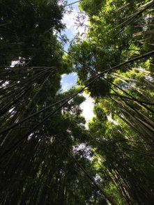 Maui Hawaii - gigantischer Bambuswald