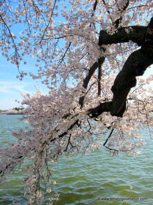 Spring cherry blossoms in Washington, DC