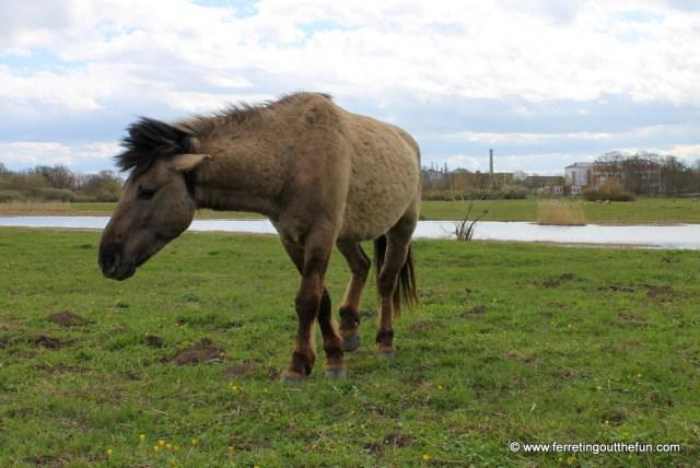 Jelgava wild horses