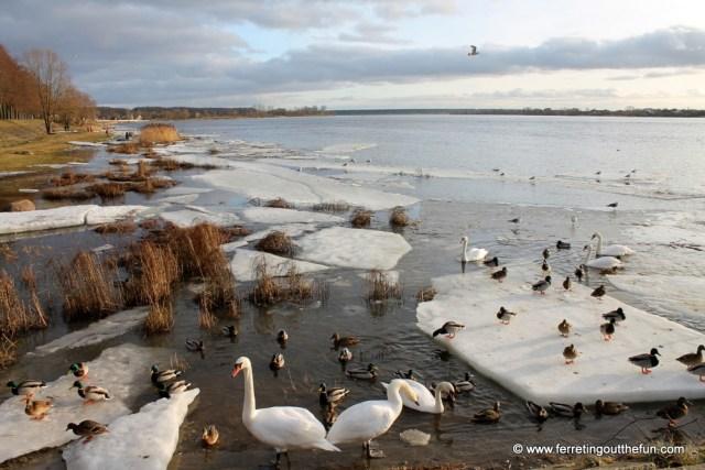 riga river swans