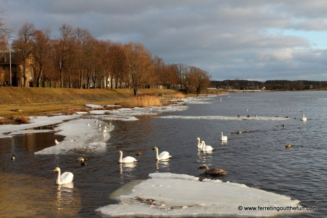 riga kengarags swans