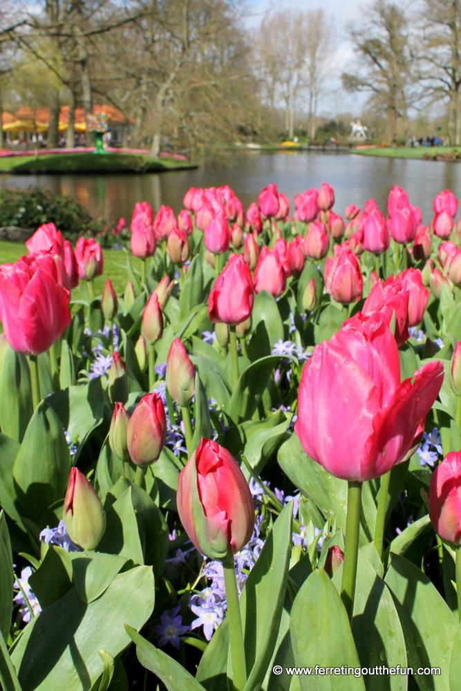 Pink tulips in bloom at Keukenhof Gardens, Netherlands