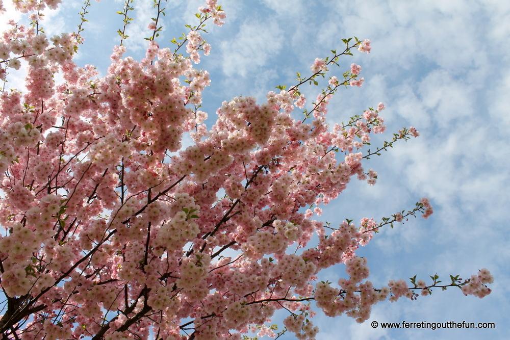 Riga cherry blossoms