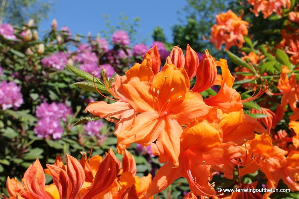 riga rhododendron