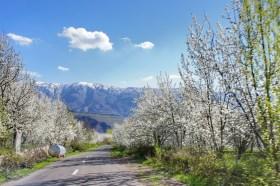 Kirschbaumblüte im Alamut Valley.