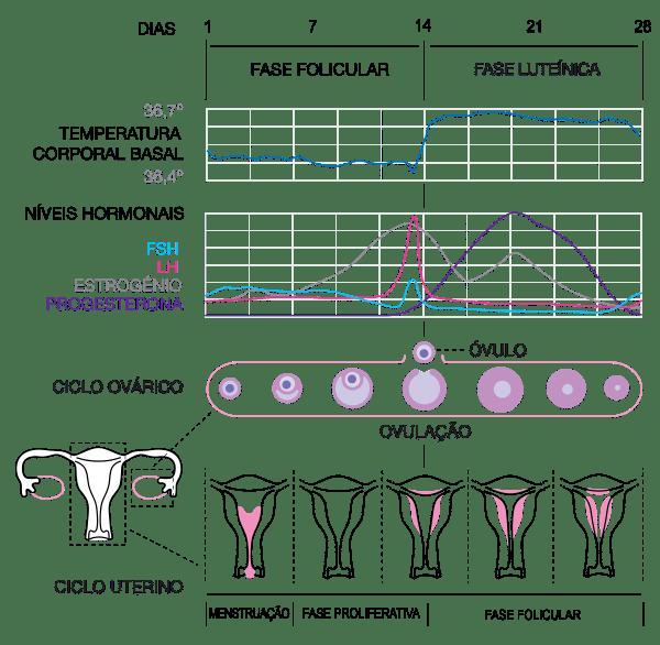 Ciclo Menstrual (os níveis de progesterona estão marcados na cor lilás).