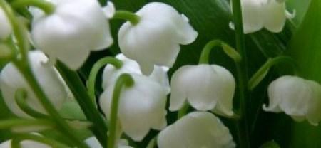 muguet-premier-mai