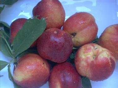nectarines1.jpg