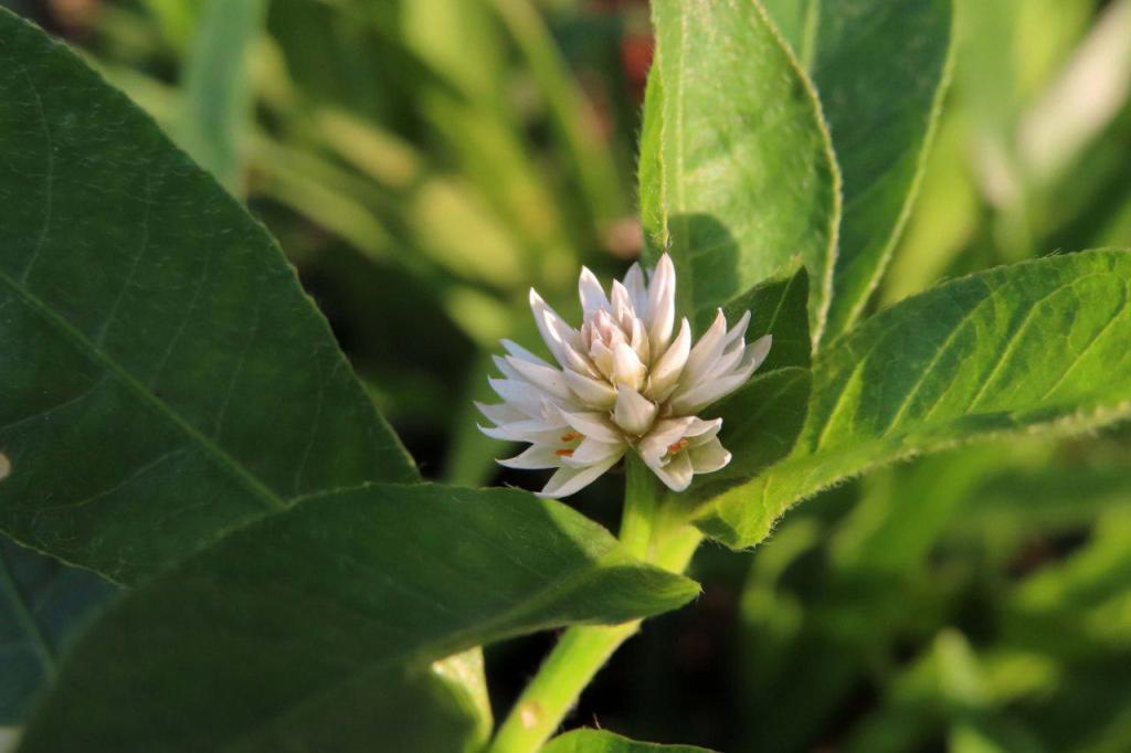 空心蓮子草花序,微距能力很可以。