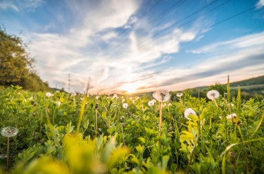 Countryside for The Final Frontier Over The Hedge Dandelions against a sunset sky