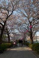 Une allée magnifique bordée de cerisiers en fleur