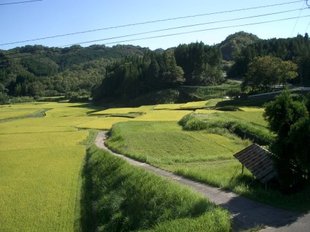 Le riz a fini par murir malgre l'ete froid et pluvieux. Le blond des gerbes me fait chaud au coeur, le spectacle navrant, les gerbes vertes et lourdes d'eau, de juillet est oublie !