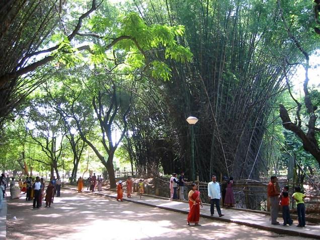 forêt de bambous dans le parc Cubbon, dans le centre de Bangalore