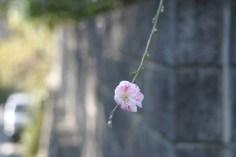 Une autre fleur, qui n'est pas de cerisier.