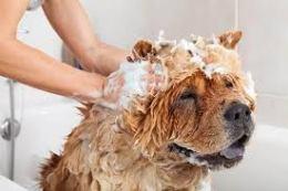 shampooing a dog