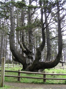#56647 Cape Meares Octopus Tree America' Byways