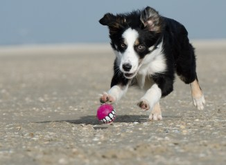 border collie on a high fiber dog food diet