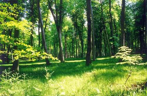 La forêt alsacienne est menacée