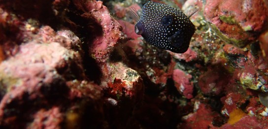 クロハコフグ幼魚