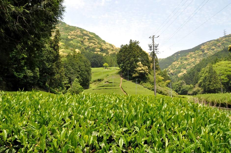 静岡 足久保 茶畑/Shizuoka Ashikubo Tea Leaves