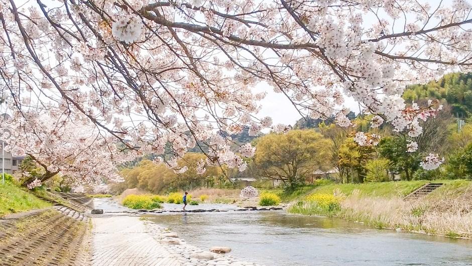 桜/Cherry Blossoms 撮影: 静岡編集舎/Shizuoka Editorial Production