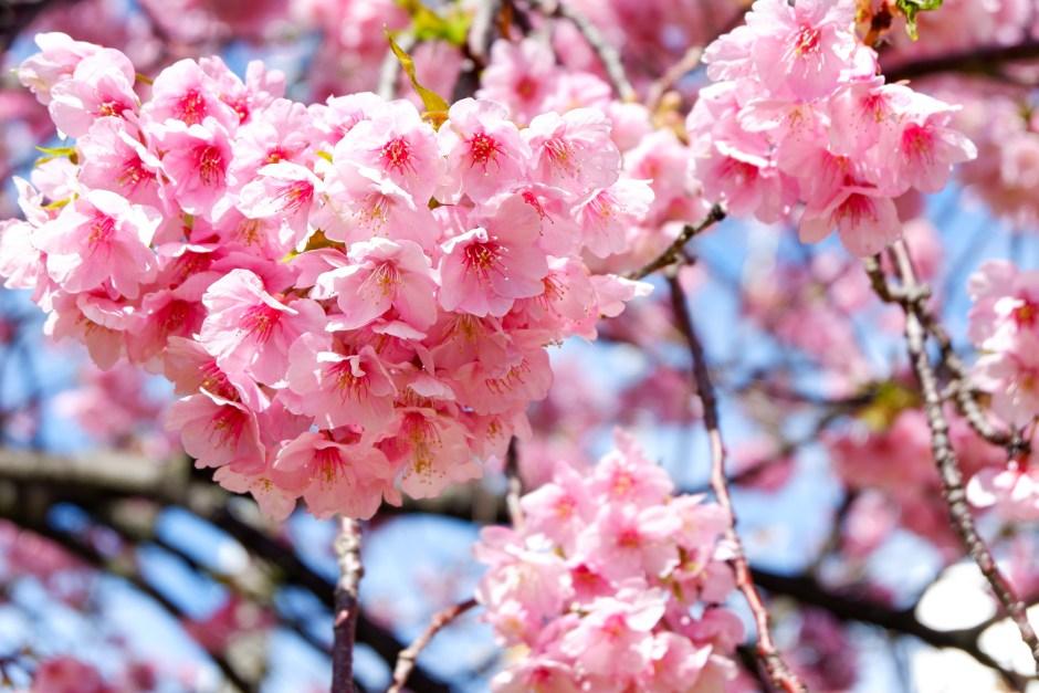 河津桜/Sakura Kawazu Zakura