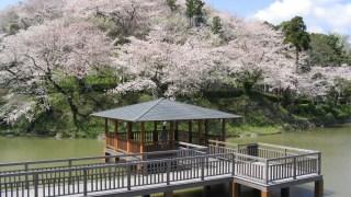 """【Shizuoka Sakura Map 18】 Sakura Watching At Night; """"Shimizu Funakoshi Tsutsumi Park"""""""
