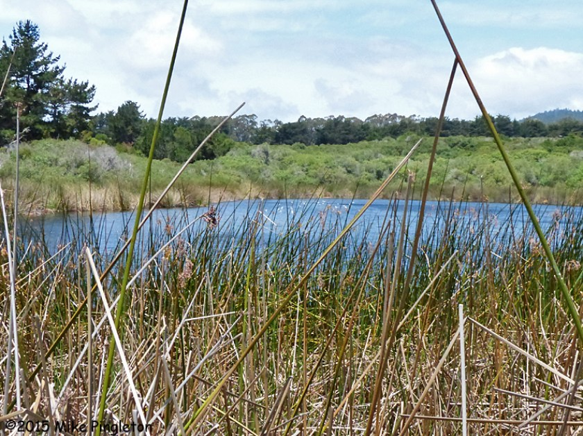 Coastal pond habitat for Thamnophis sirtalis tetrataenia