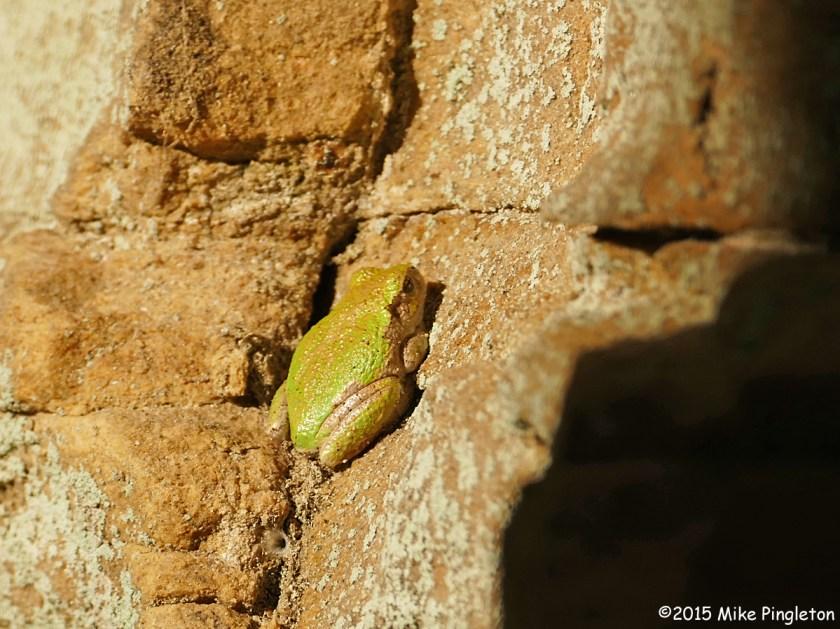 Gray Treefrog in the weak October sunlight