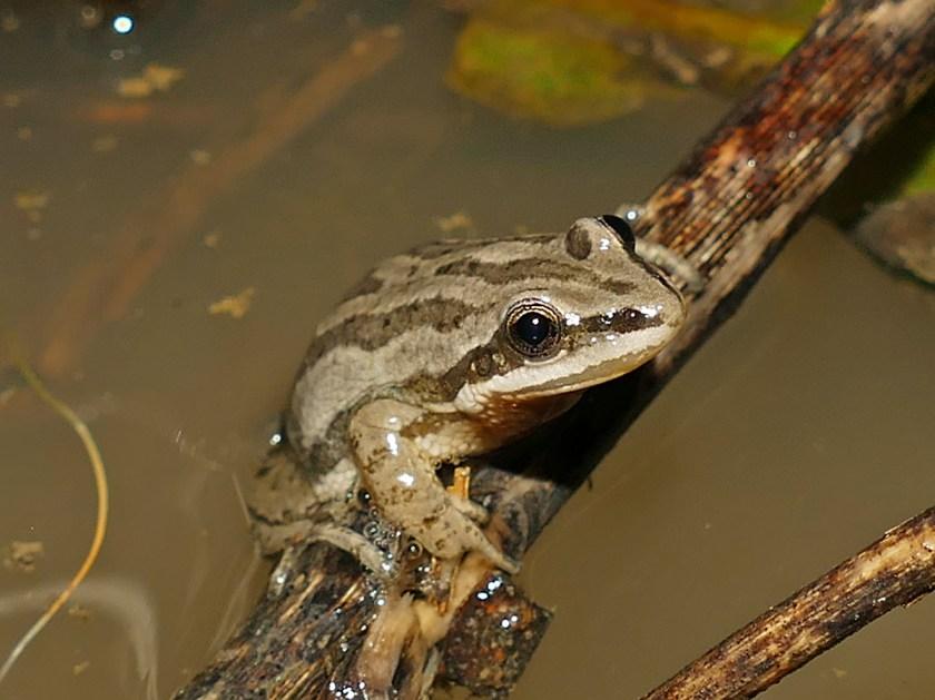 Pseudacris triseriata - Chorus Frog