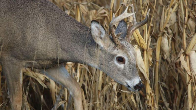 Whitetail-deer-eating-corn-plants