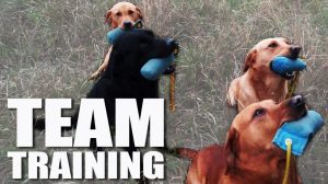 Gundog Summer Boot Camp: Training a Team