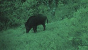 Hunt and Cook Wild Boar