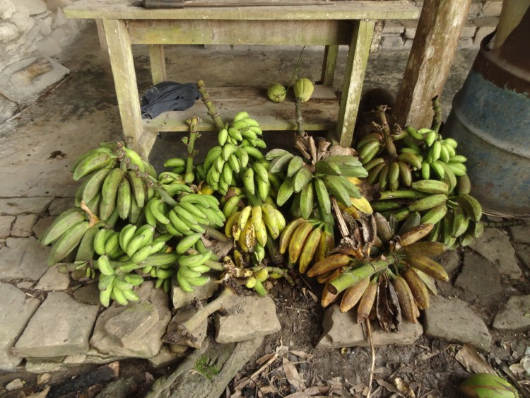 Harvested bananas at MMRF