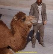 Le chameau y pue de la gueule
