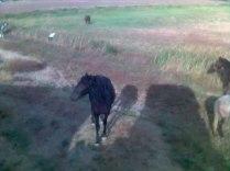 Il y a de superbes chevaux dans les marais