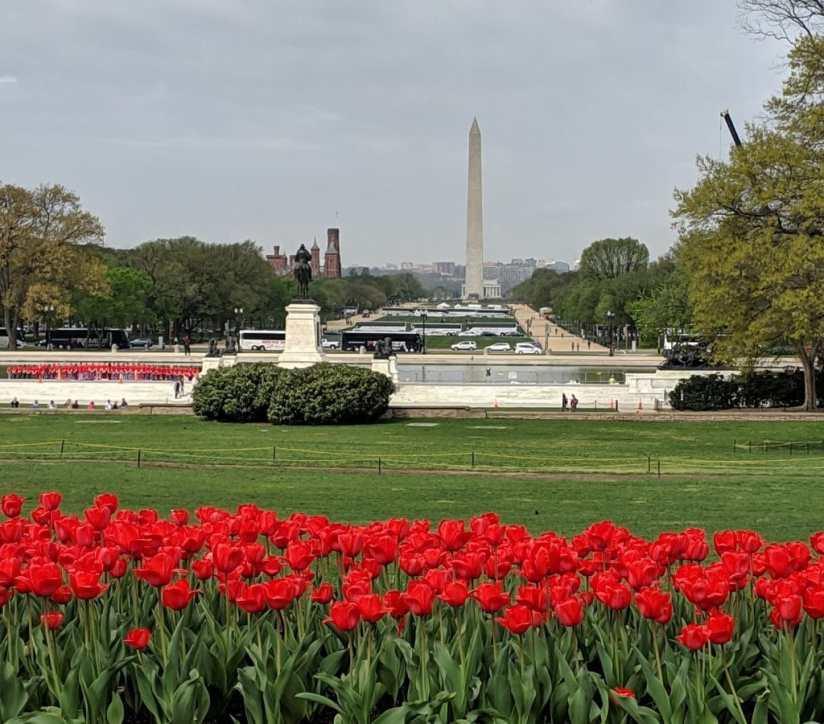 DC tulips e1556542254152