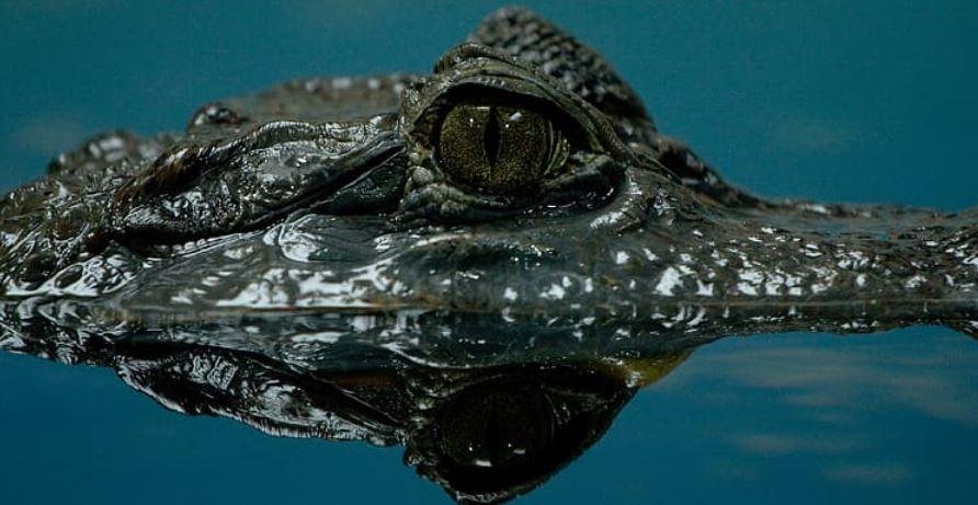 remote control swimming alligator
