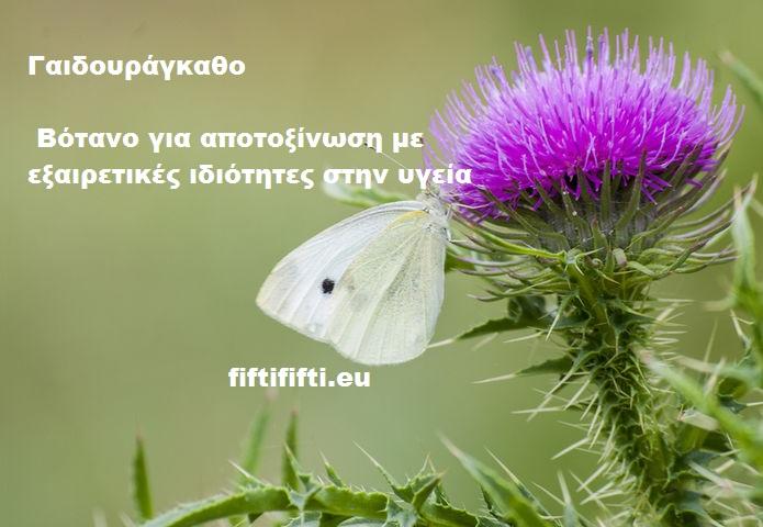 Γαιδουράγκαθο! Βότανο για αποτοξίνωση με εξαιρετικές ιδιότητες στην υγεία-fiftififti.eu