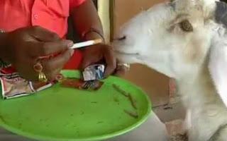 Αρνί εθίζεται στο τσιγάρο και το προτιμάει ακόμα και από το φαγητό