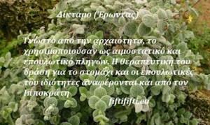 Δίκταμο (Έρωντας) (Origanum dictamnus)