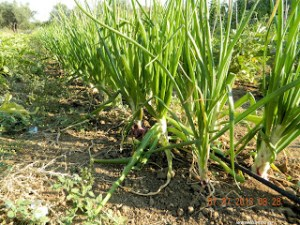 Κρεμμύδια: σπορά φύτεμα καλλιέργεια