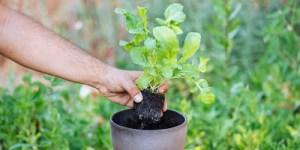 Καλλιέργεια ρόκας σε γλάστρα