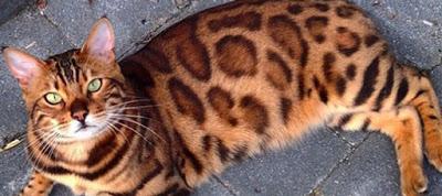 Read more about the article Όσα πρέπει να γνωρίζετε για την υπέρβαρη γάτα