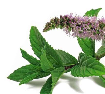Το τσάι μέντας μπορεί να βοηθήσει στην ανακούφιση του πονόλαιμου.fiftififti.eu/