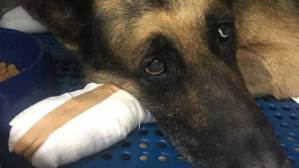 Φωτιά Αττική: Υιοθετήθηκε ο σκύλος που κάηκαν οι πατούσες του