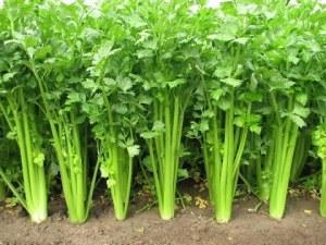 Σπόροι σέλινου για την κυστίτιδα